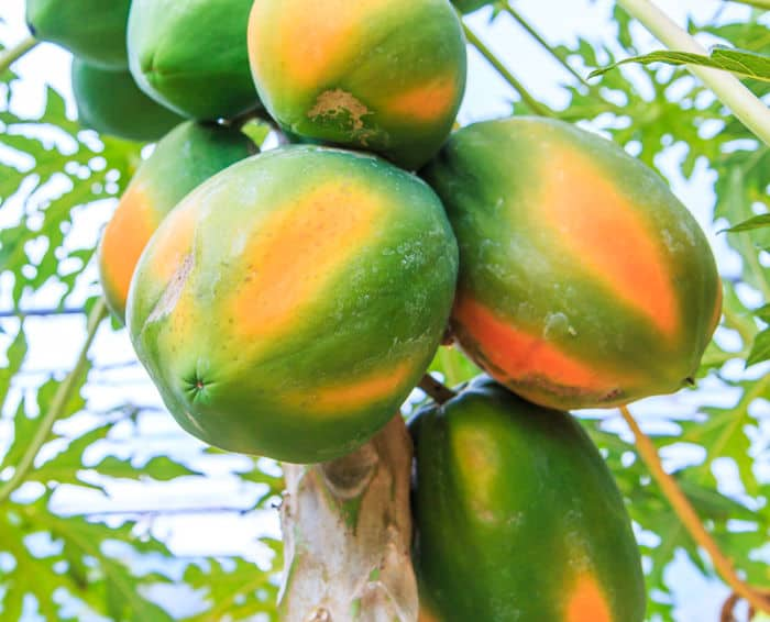 Picture pf papayas hanging on a tree